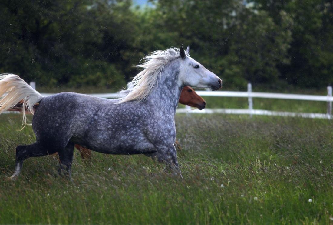 Breed History Desert Norman Horse Registry